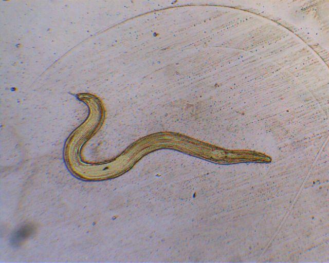 Enterobius male